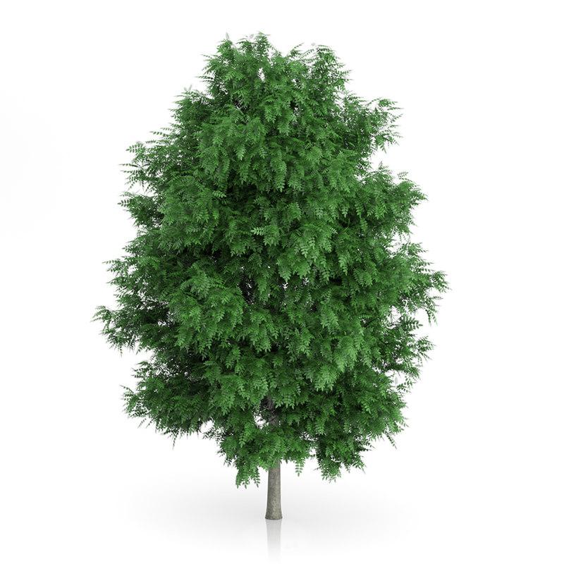 Rowan Tree (Sorbus aucuparia) 7.9m
