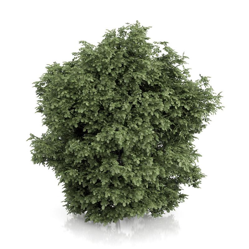 Common Hazel Tree (Corylus avellana) 3m