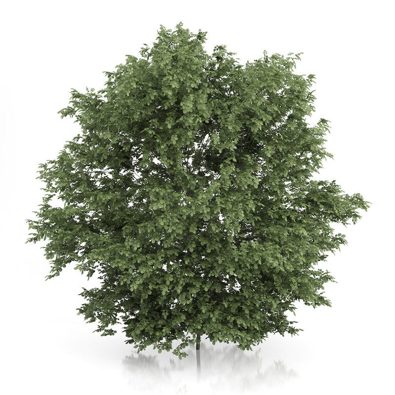 Common Hazel Tree (Corylus avellana) 4.2m