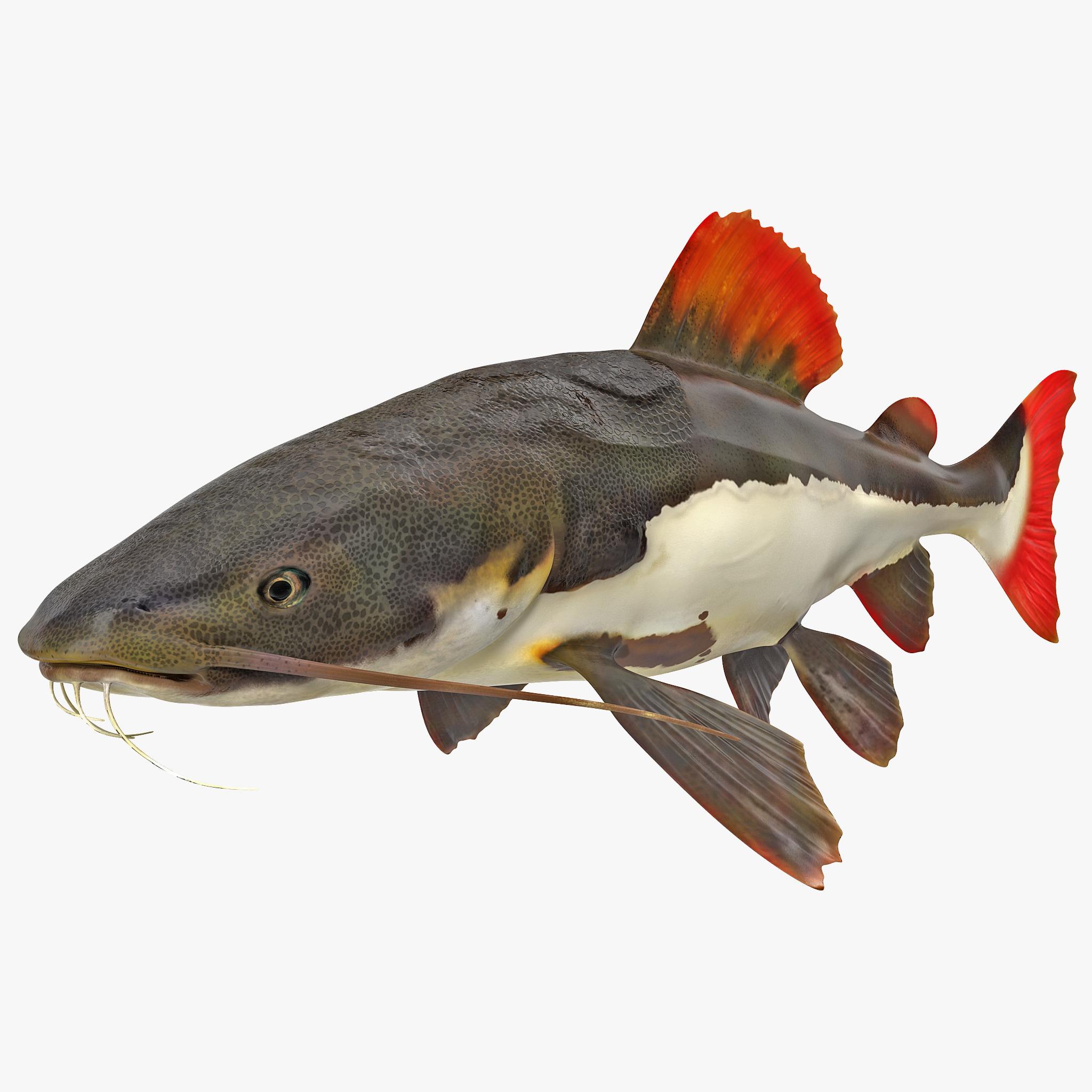 Redtail Catfish_1.jpg