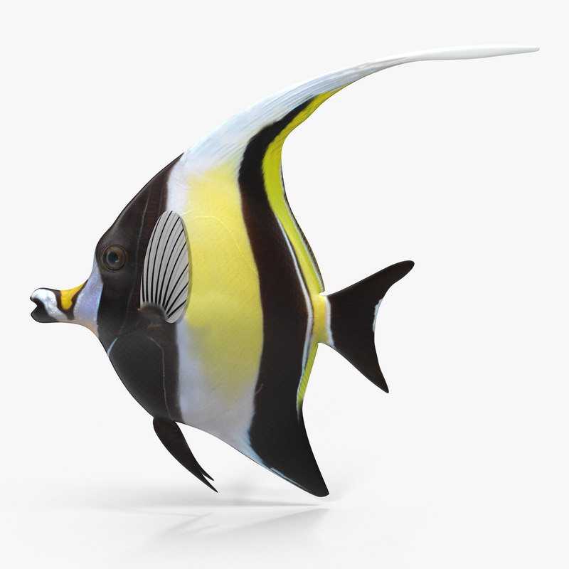 Moorish Idol Yellow Rigged