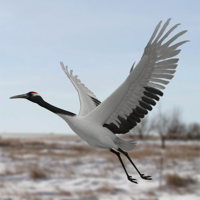 Grus Japonensis 'Red-crowned Crane'