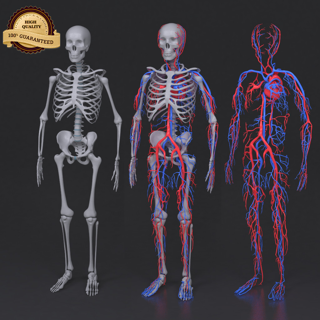 Skeleton_circulatory_col_v01.png