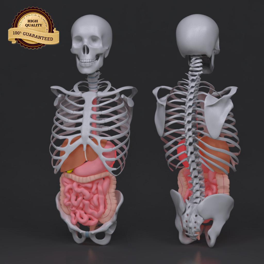 Torso Skeleton with Digestive system_col_v02.png