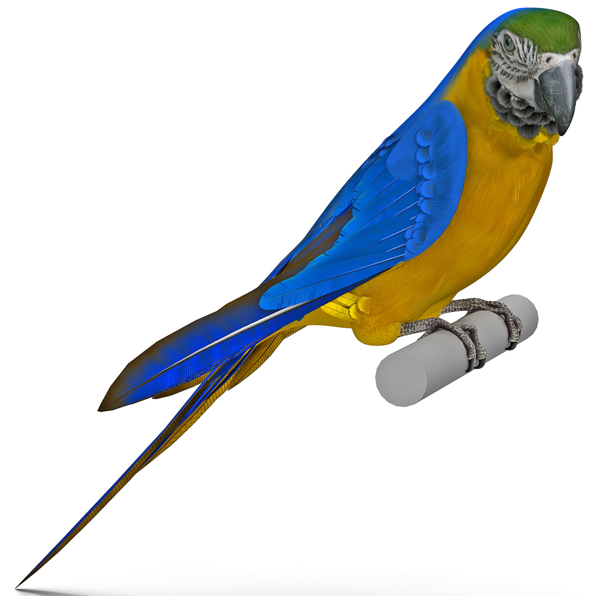 Blue and Gold Macaw Pose 1_12.jpg