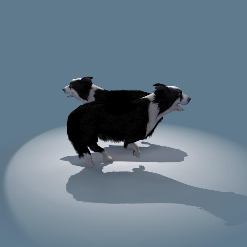 Collie Sheep Dog
