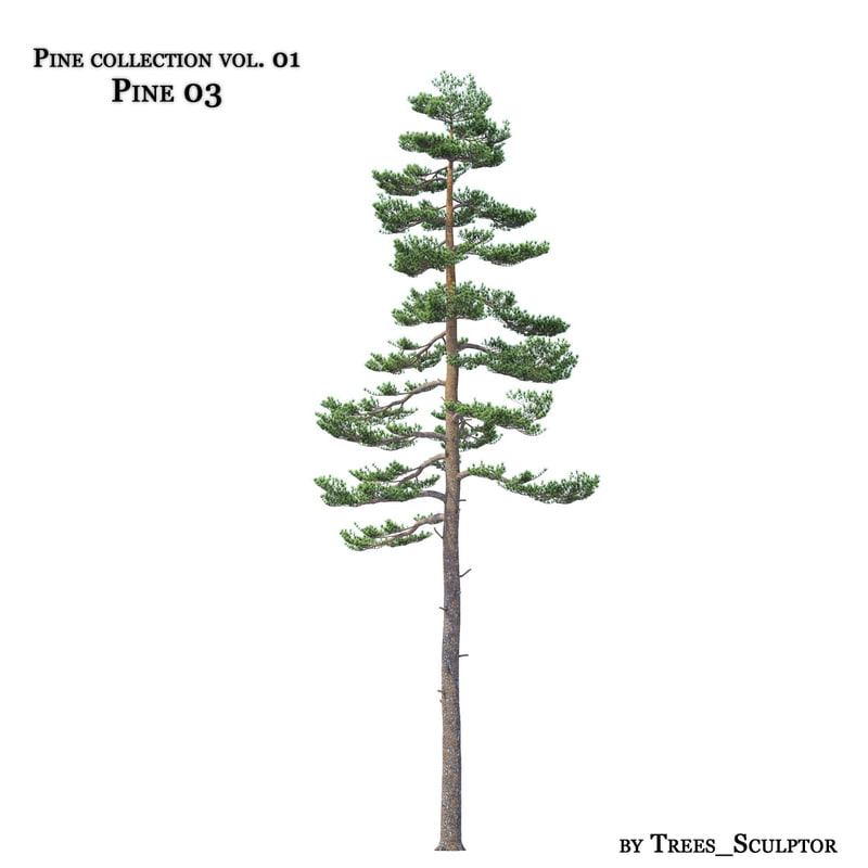 Pine-tree_03