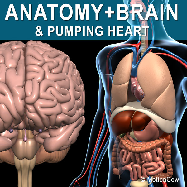 Anatomy & Brain 3D Models