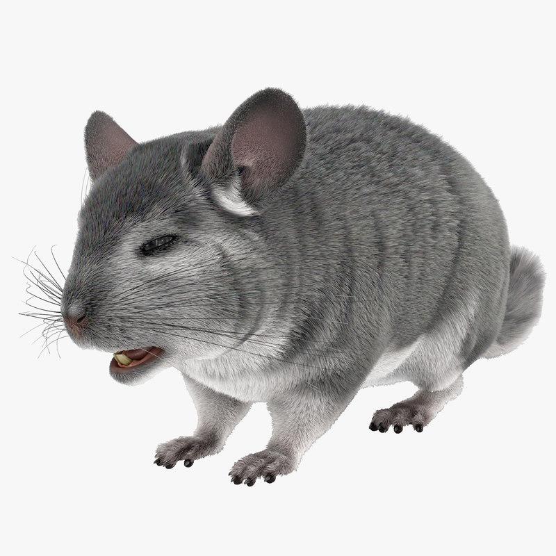 Chinchilla with Fur