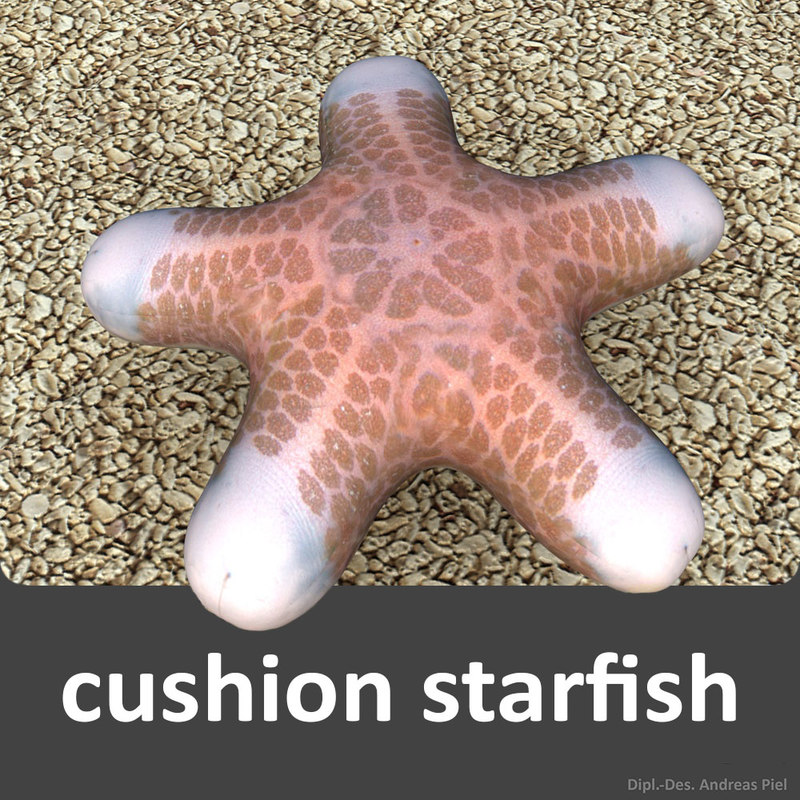 cushion starfish (Choriaster granulatus)