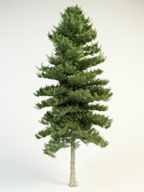 abies concolor 16 white fir