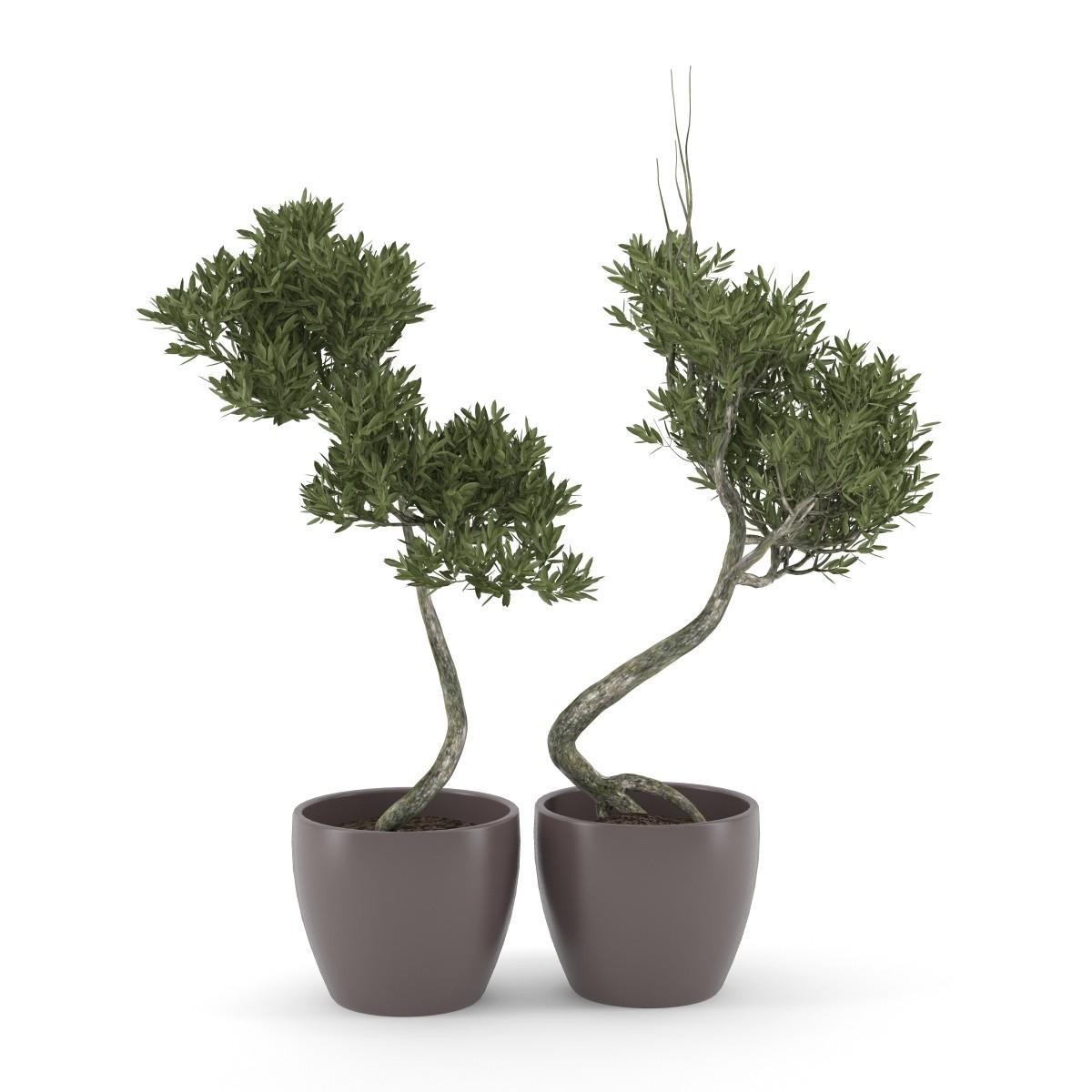 Olive Tree(1).jpg
