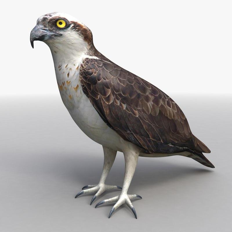 Osprey (Standing)