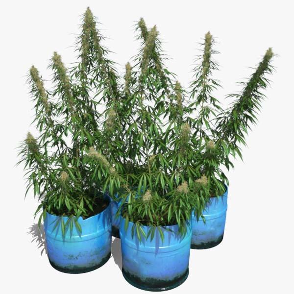 Cannabis_Sativa_000_sign.jpg