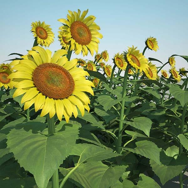 sunflower_field_000_signature.jpg