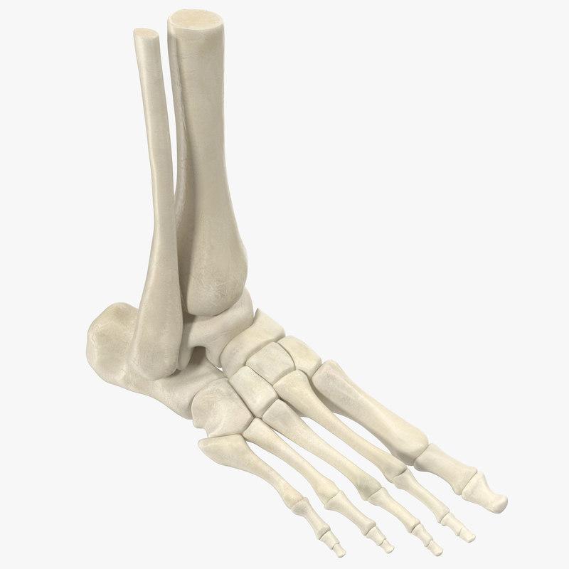 Human skeleton foot - photo#13