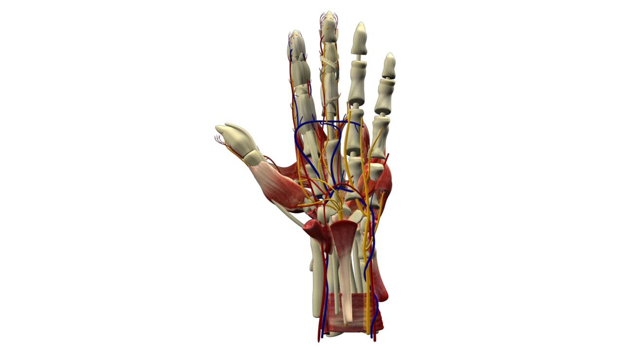 Hand_Muscles_01.png