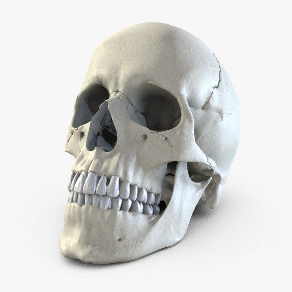 Human Skull 3D Models