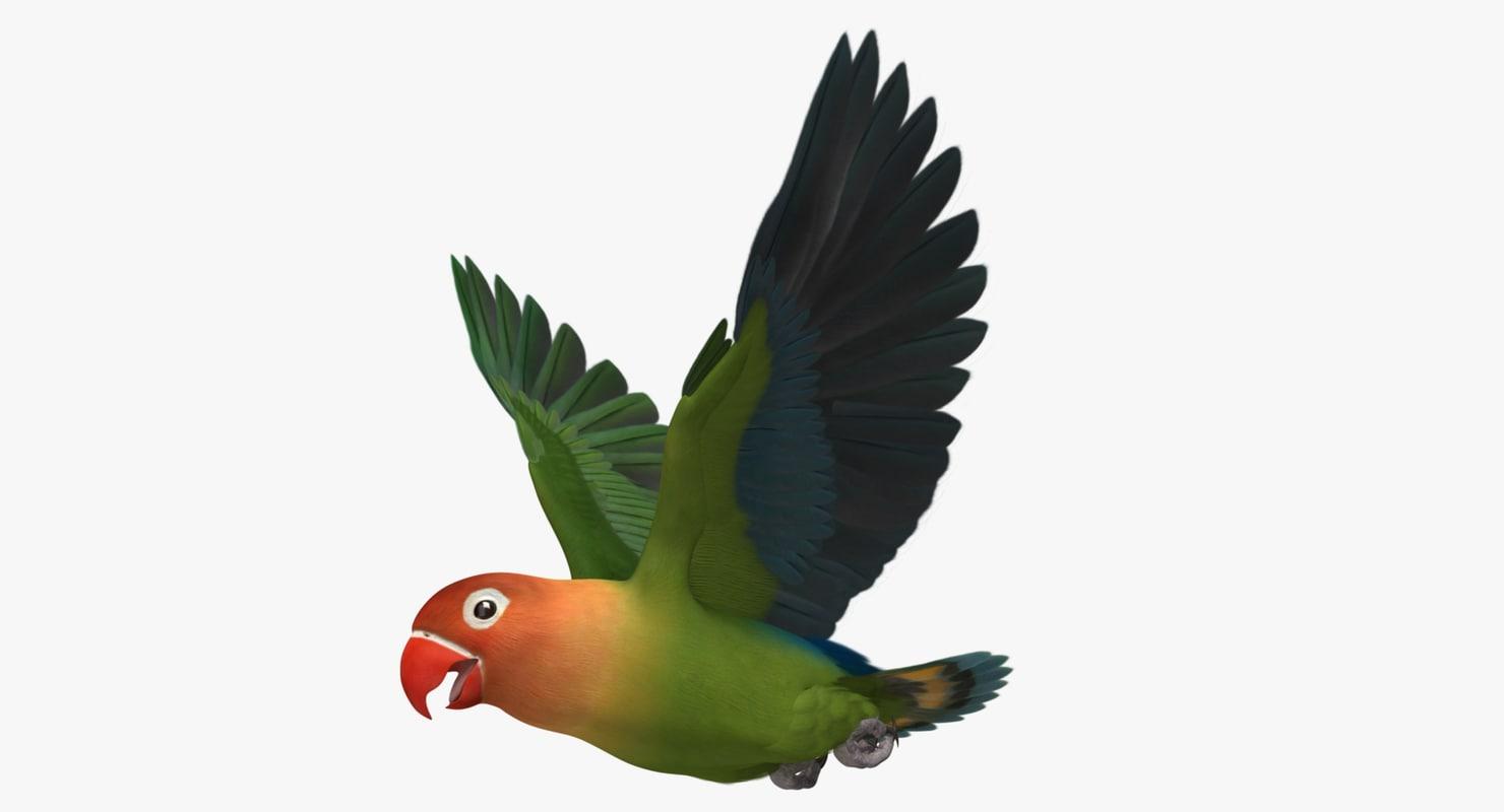 """Agapornis Fischeri """"Fischer's Lovebird"""""""