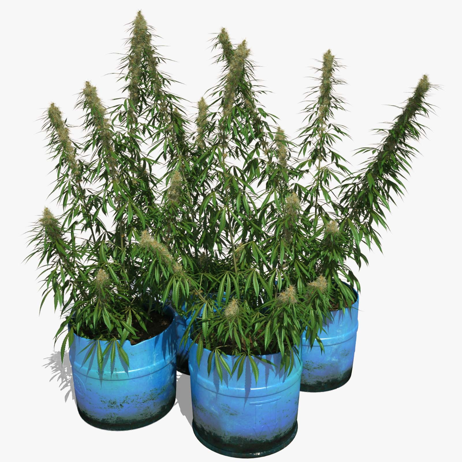 Cannabis_Sativa_0000_sign.jpg