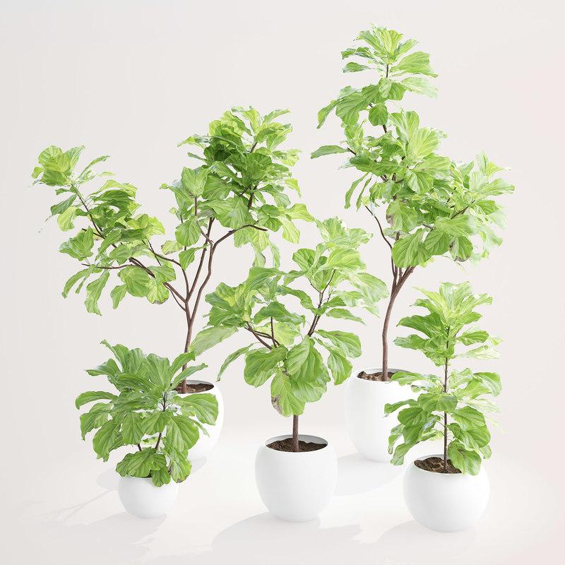 Ficus Lyrata | Collection