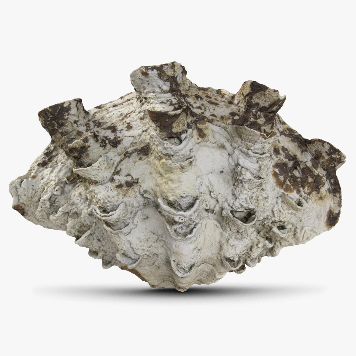 Sea Shell 3 Giant Clam