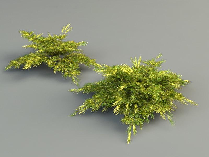 juniperus pfitzeriana aurea juniper