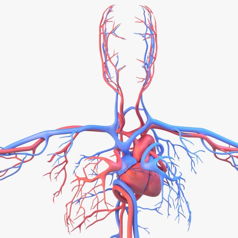 Circulatory system_sg_col_v01.png