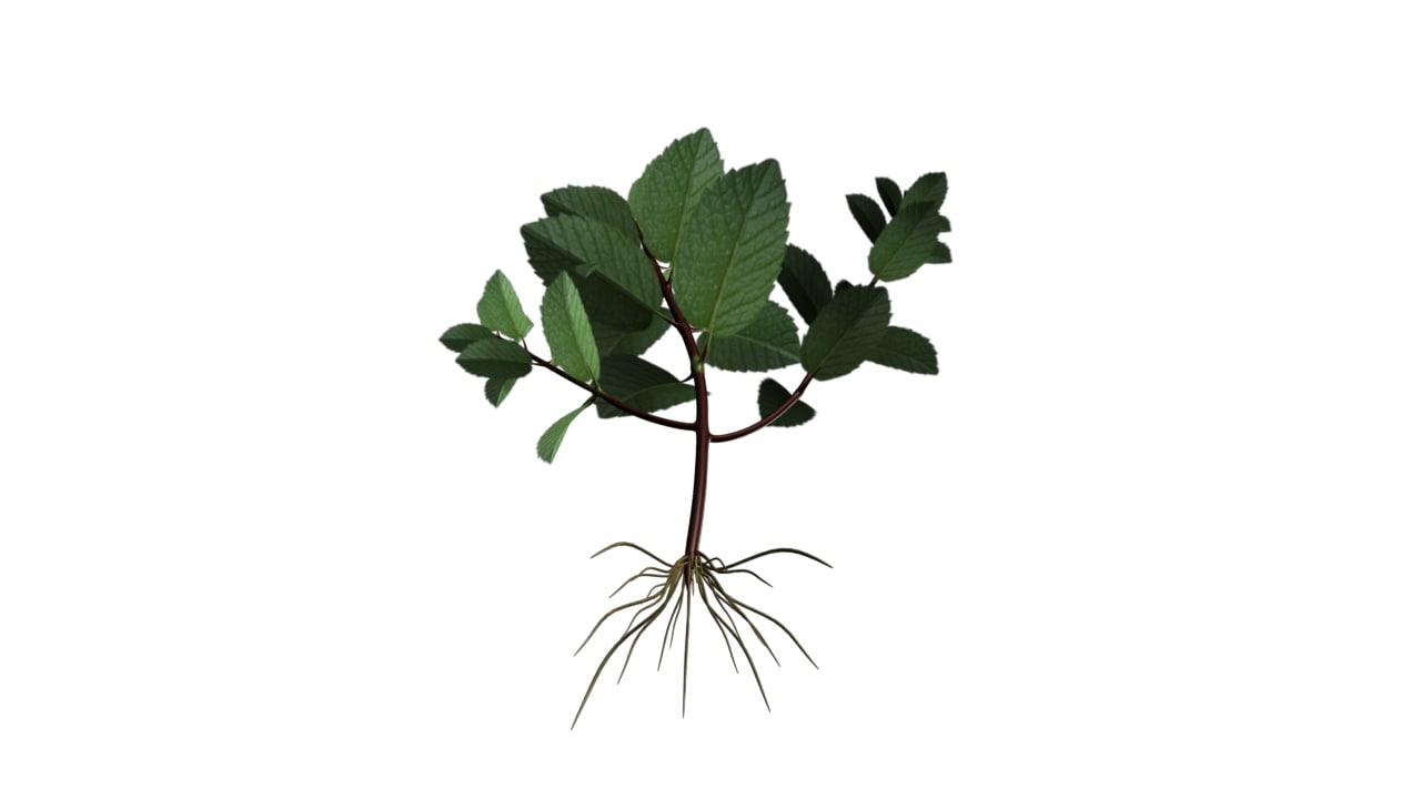 Mentha Leaf