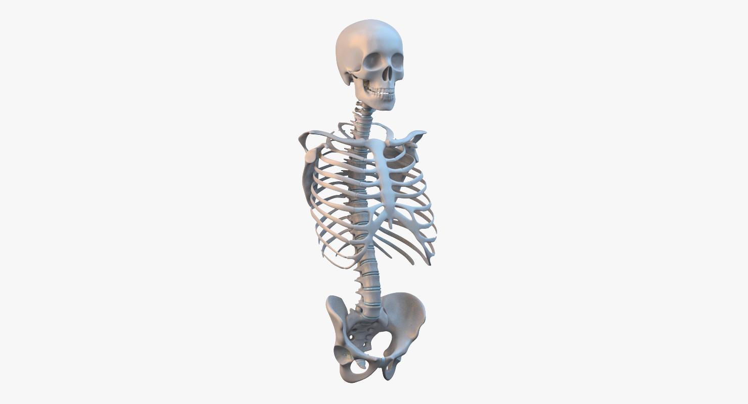 Torso Skeleton_col_v01.png