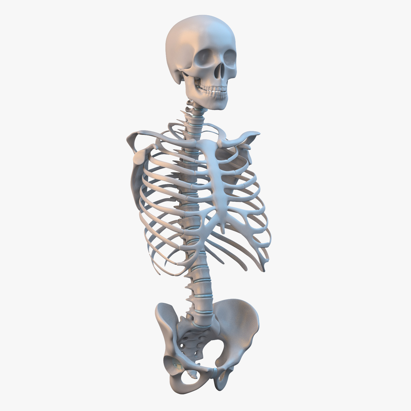 Torso Skeleton_sig_col_v01.png