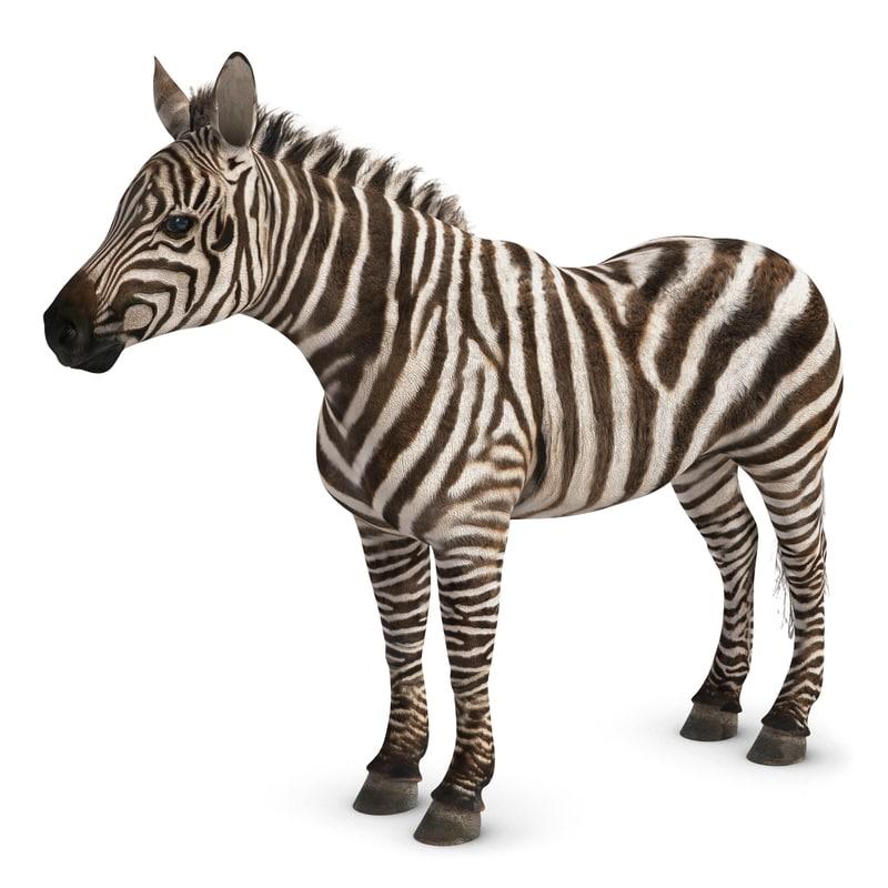 Zebra-1chk247.jpg