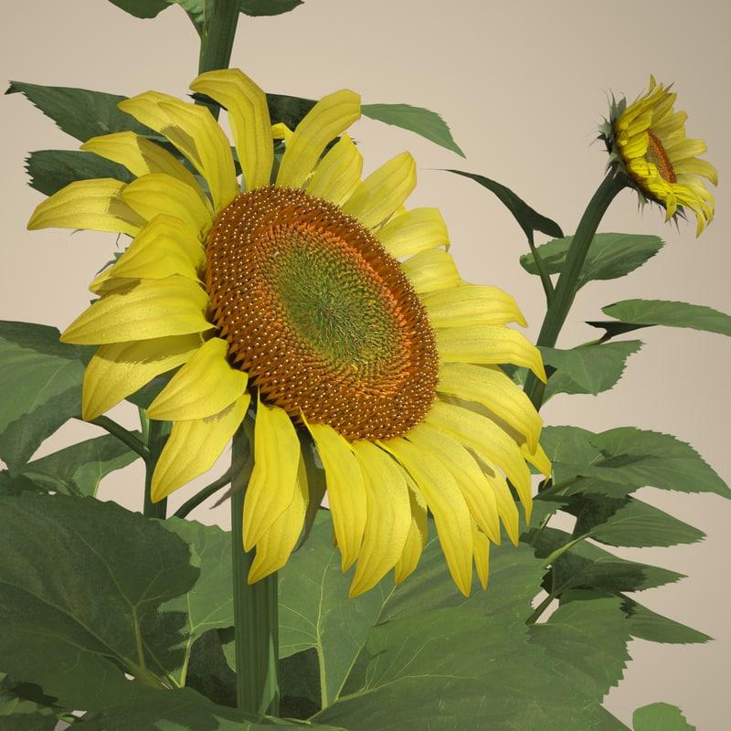 Common Sunflower Set