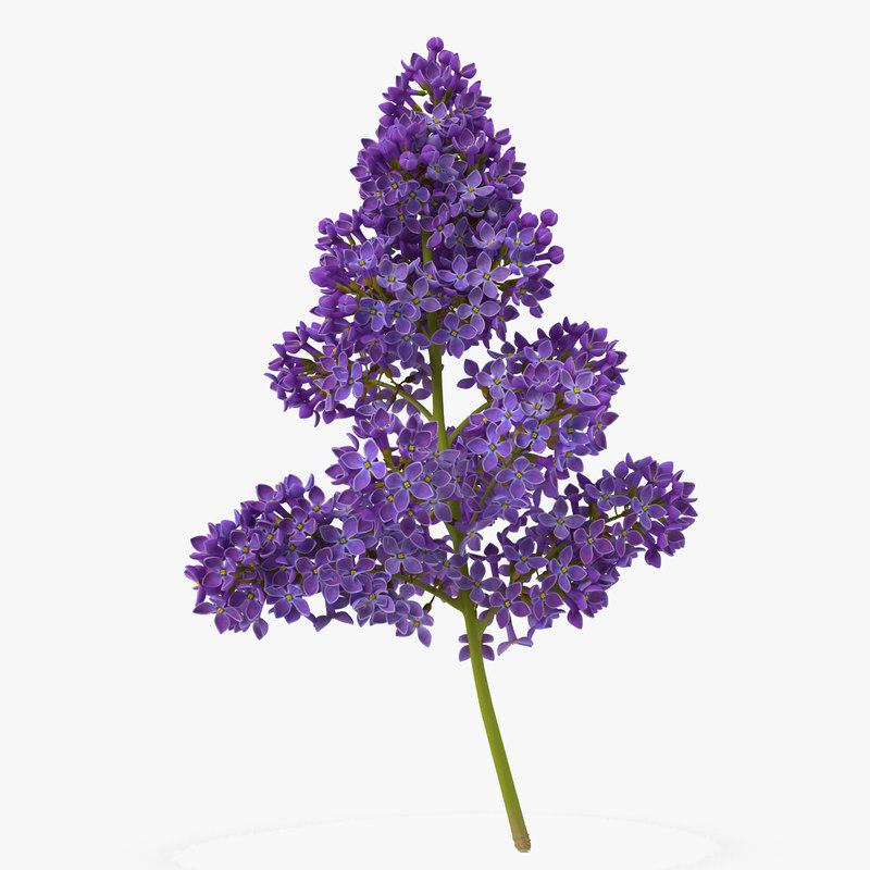 Syringa Lilac 5