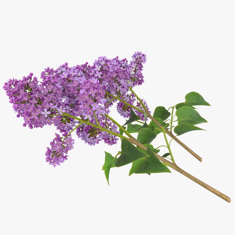 Syringa Lilac 4
