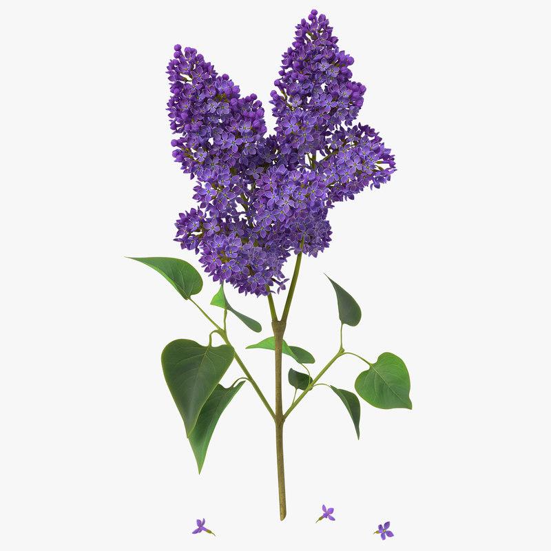 Syringa Lilac 2