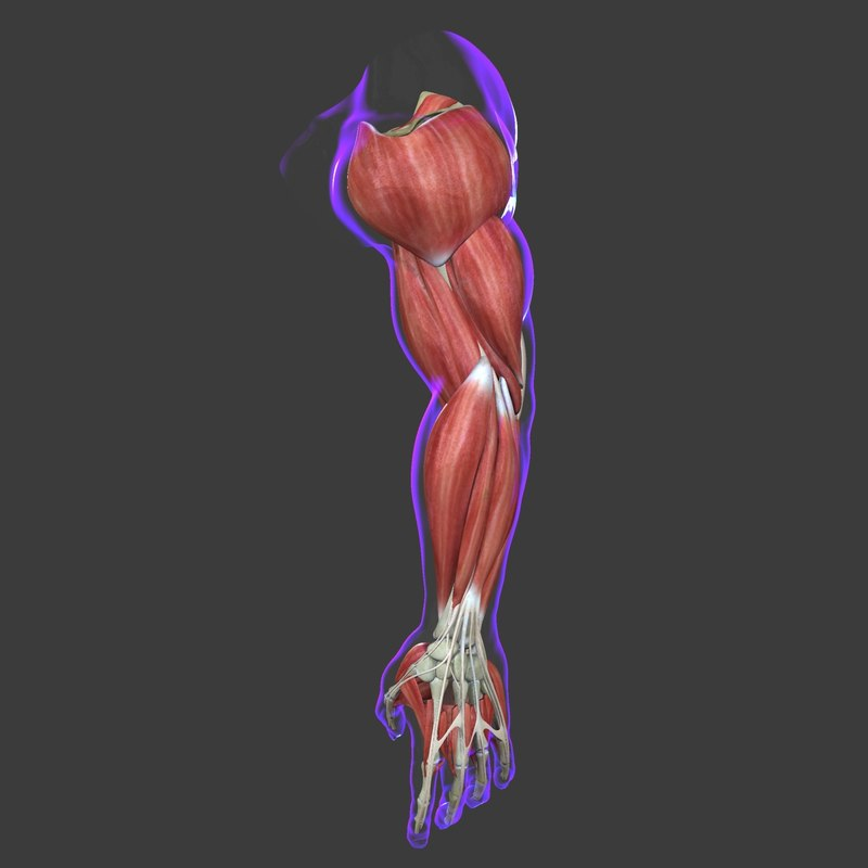 Muscles of the Arm Medical Edition