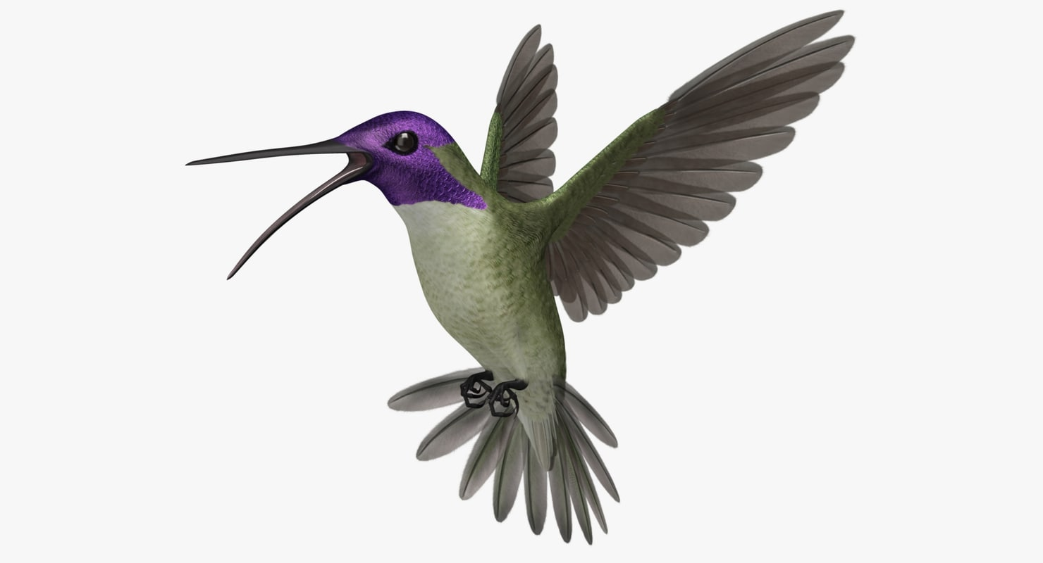 """Calypte Costae """"Costa's Hummingbird"""""""