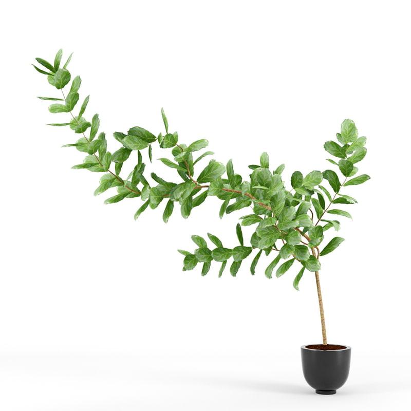 Ficus lyrata_R2.jpg
