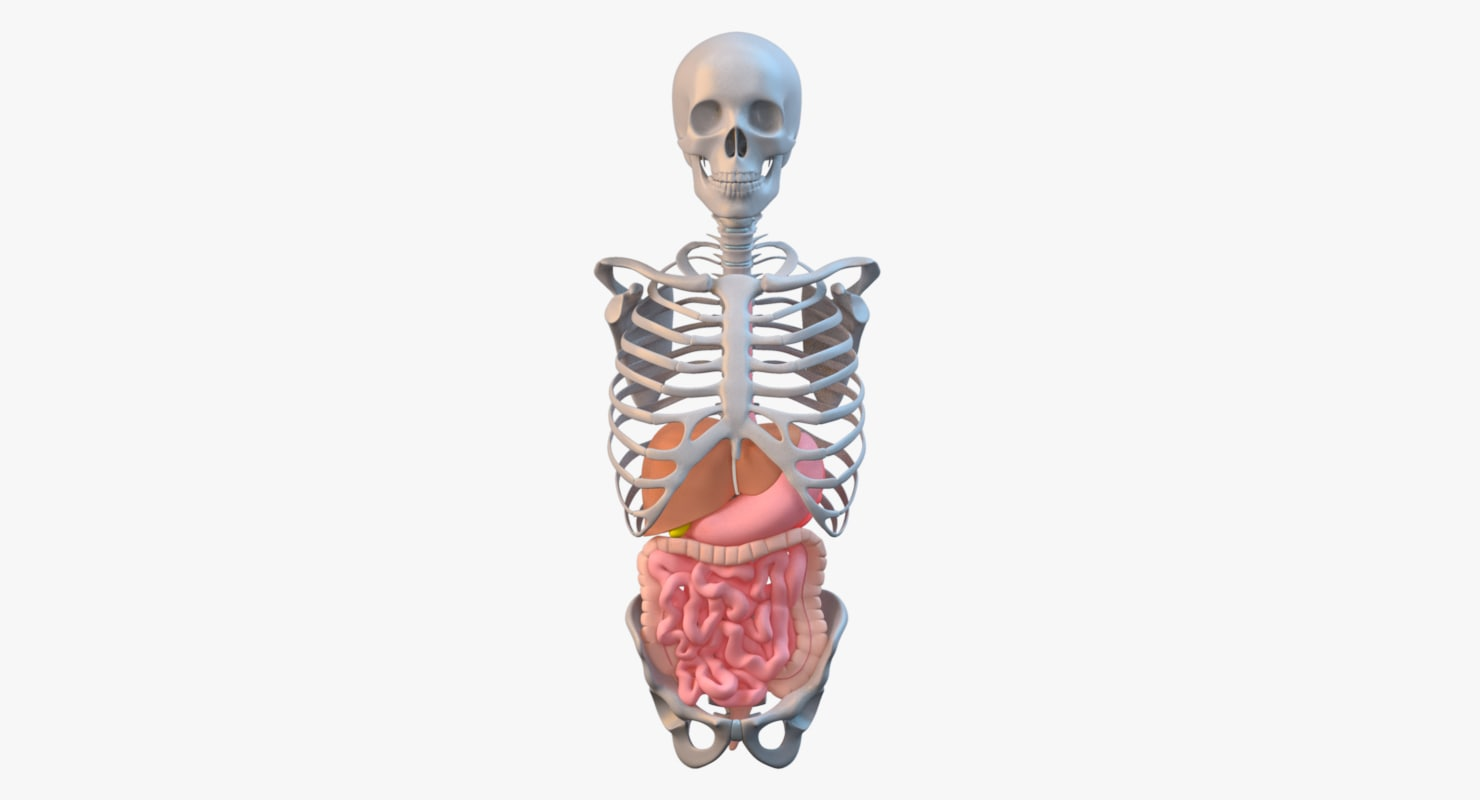 Torso Skeleton with Digestive system_col_comp_v00.png