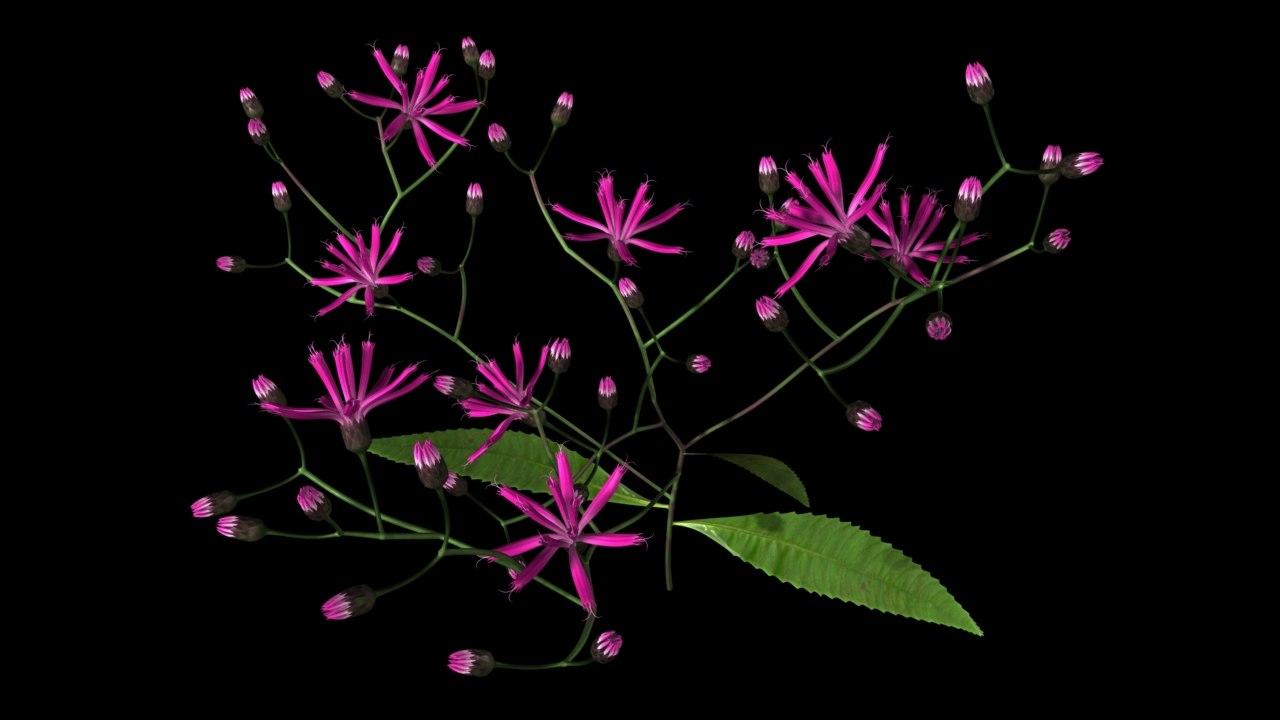 Vernonia