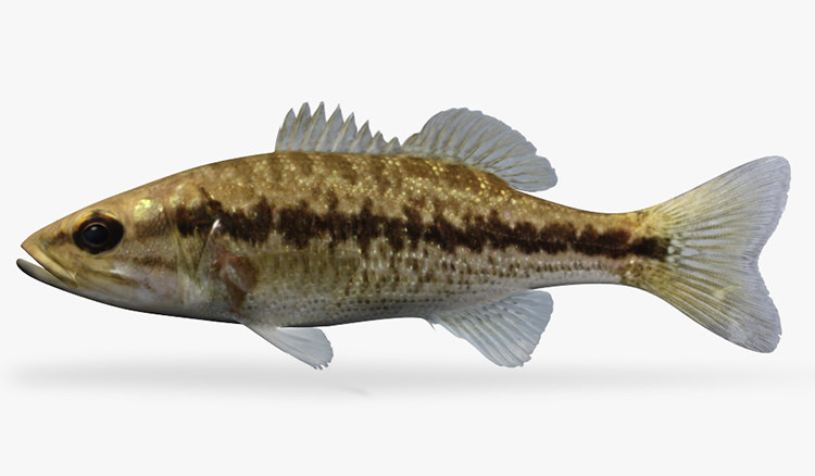 Micropterus punctulatus Spotted Bass