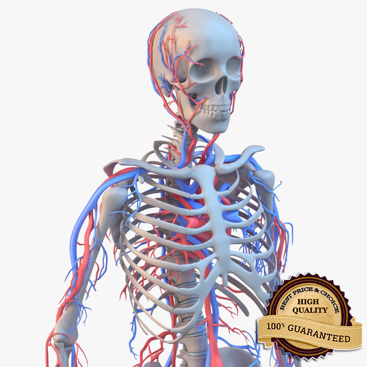 Skeleton_circulatory_sig_fr05_col_v01.5.png