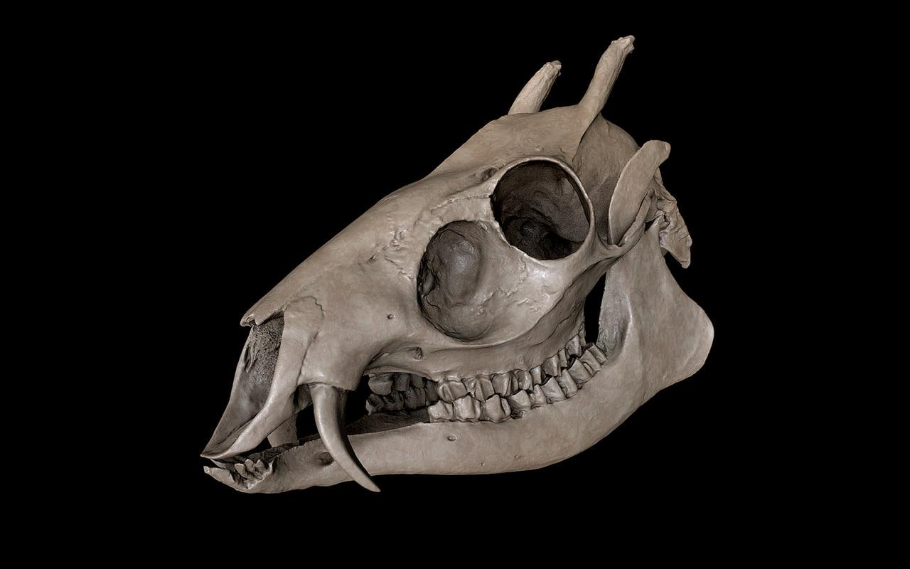 Tufted Deer (Elaphodus cephalophus)