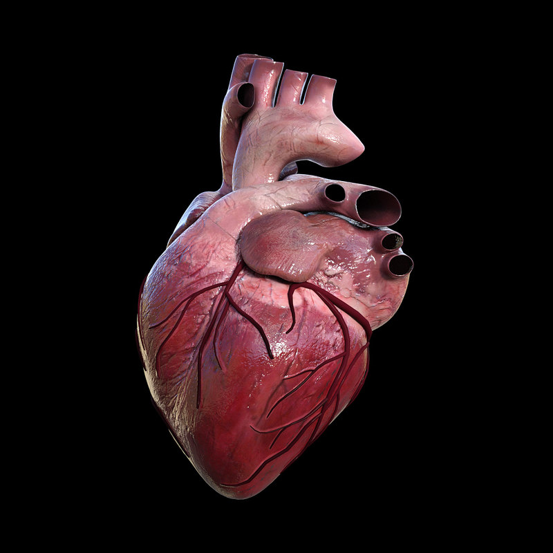 Human Heart Model No Textures Anatomy 3d Models | Male ...