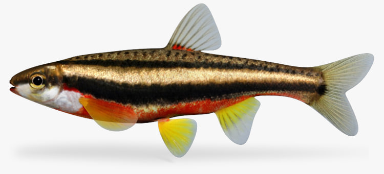 Redbelly Dace