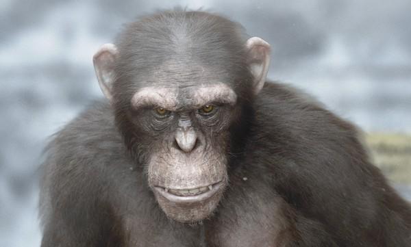 Chimpanzee - realistic 3D Models