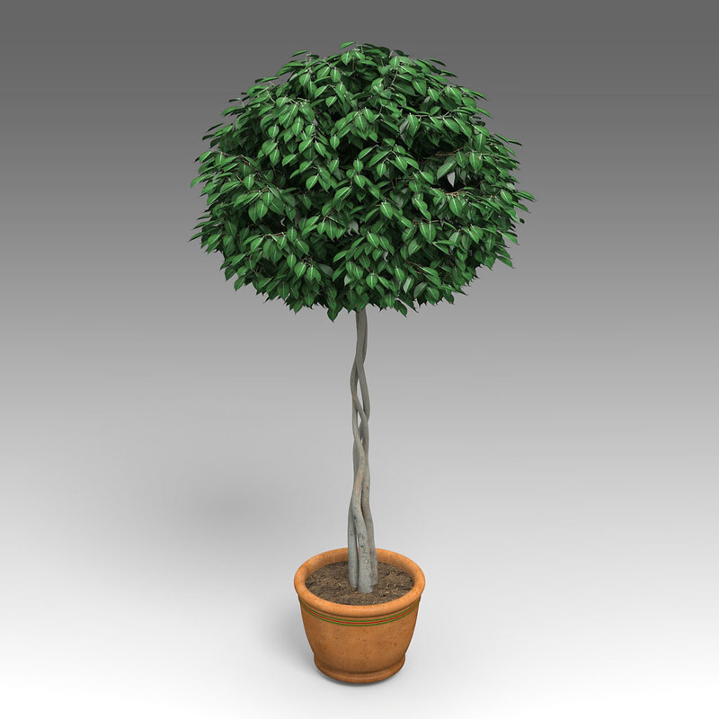 house_plants_hpa_009_Ficus_Benjamina_01.jpg