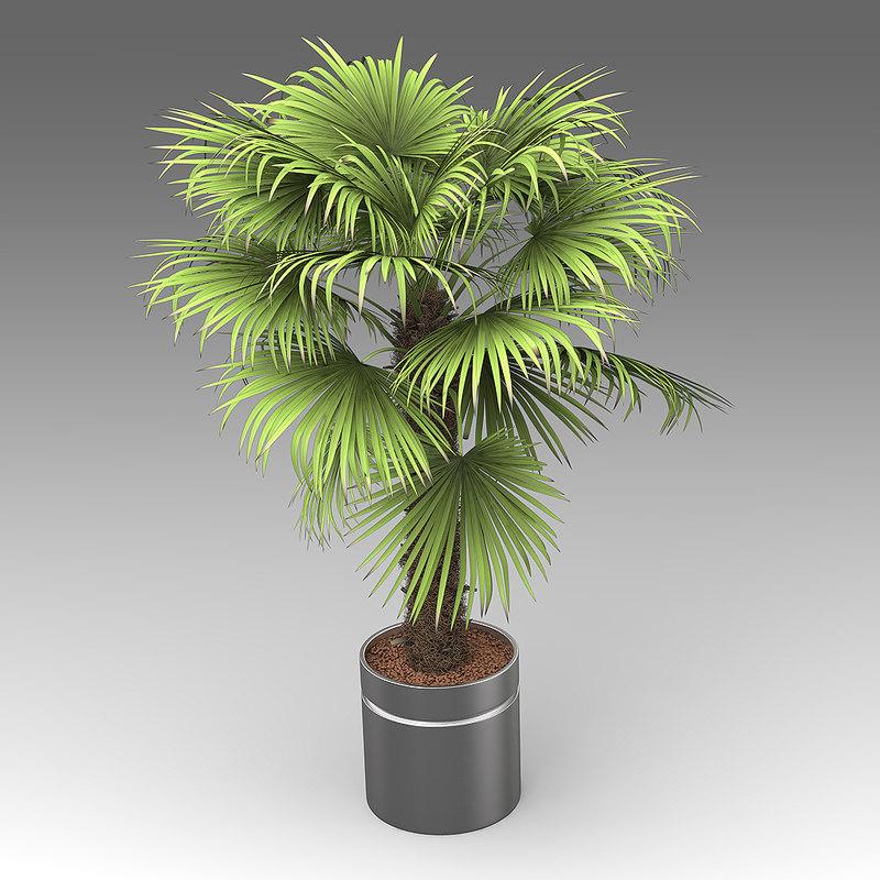House_Plants_hpa_020_Trachycarpus_01.jpg
