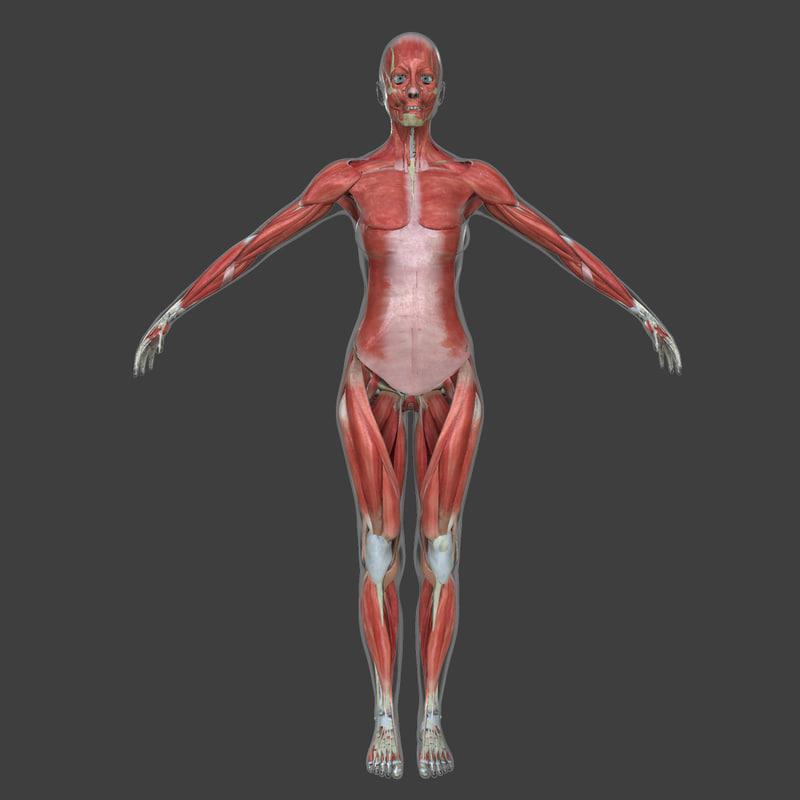 Searched 3d models for lowpoly-anatomy-model-(muscles-bones)